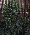 Begonia maculata - JBM.jpg