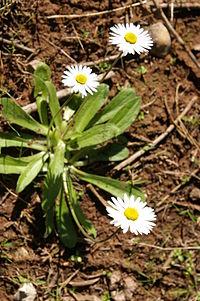 Bellis sylvestris (Southern Daisy).JPG