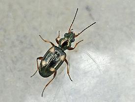 Minipenetretus