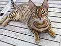 Bengal cat (8117203851).jpg