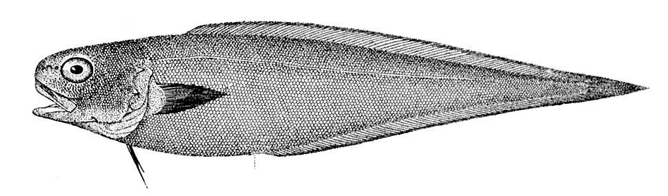 Benthocometes robustus