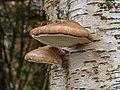 Berkenzwam (Piptoporus betulinus) (d.j.b.) 06.jpg