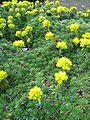 Berne botanic garden Saxifraga x apiculata.jpg