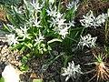 Berne botanic garden Scilla puschkinoides.jpg