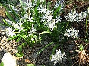 Scilla puschkinoides im botanischen Garten in Bern