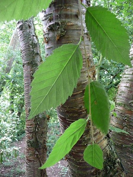 feuilles et tronc du bouleau jaune