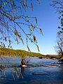 Betula nigra - River Birch.jpg