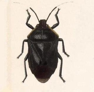 <i>Perillus</i> Genus of true bugs