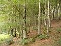 Birch trees, at Langdon Wood - geograph.org.uk - 1454437.jpg