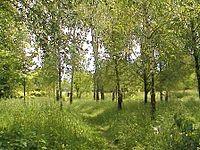 Birches in Berezdiv.JPG