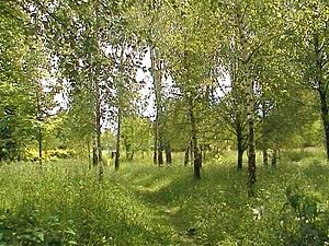 Birches in Berezdiv.JPG