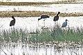 Birds, Mytilene, Kalloni saltworks.jpg