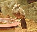 Birds from Ezhimala DSCN7083.jpg