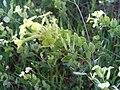 Biscutella auriculata FlowersandFruit 2009April11 DehesaBoyaldePuertollano.jpg