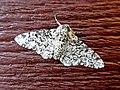 Biston betularia (Geometridae) - (imago), Arnhem, the Netherlands.jpg