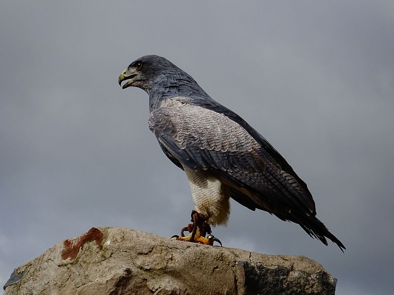 Fichier:Black-chested buzzard-eagle.jpg