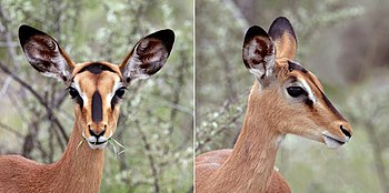 Black-faced impala (Aepyceros melampus petersi) female head composite.jpg