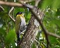 Black-headed Woodpecker.jpg