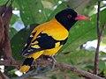 Black-hooded Oriole - Sri Lanka - 02.jpg
