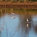 Black-winged stilt pond near Burke River Boulia Queensland P1030819.jpg
