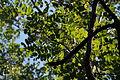 Black Locust (Robinia pseudoacacia) (22407419196).jpg