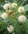 Black and Yellow Lichen Moths - panoramio.jpg