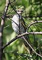 Black cuckooshrike, Campephaga flava, at Manavhela Ben Lavin Nature Reserve, Machado, Limpopo, South africa (26268702756).jpg