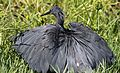 Black heron, Egretta ardesiaca, at Marievale Nature Reserve, Gauteng, South Africa (29821734114).jpg