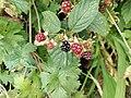 Blackberries Nuneaton.jpg