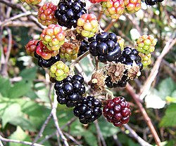Blackberry fruits13.jpg
