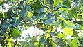 Blackburnian Warbler (7810680074).jpg