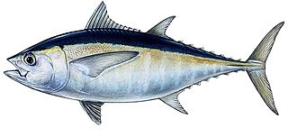 Blackfin tuna species of fish