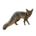 Blandford's fox.png