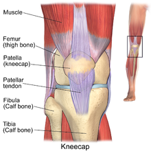 Patella wiktionary englishedit ccuart Image collections