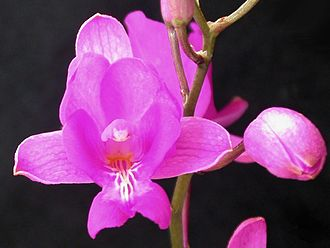 Epidendreae - Bletia catenulata flower