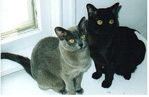 Burmese cat - Blue and Sable adult American Burmese