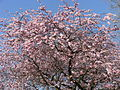 Blossoming tree in Dronten.JPG