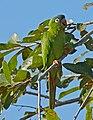 Blue-crowned Parakeet (Aratinga acuticaudata) eating fruit ... (29073556970).jpg