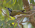 Blue-faced Honeyeater (Entomyzon cyanotis) - Flickr - Lip Kee.jpg