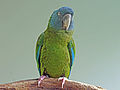 Blue-headed Macaw RWD3.jpg