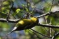 Blue-winged Warbler (male) Sabine Woods TX 2018-04-22 14-35-42 (41092250905).jpg