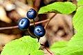 Blue Berries (227019793).jpg