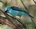 Blue Dacnis, Dacnis cayana - Flickr - Lip Kee (1).jpg