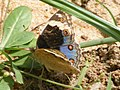 Blue Pansy (2820395951).jpg