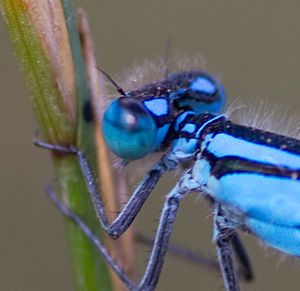 Blue damselfly eye (6045302499).jpg