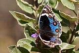 Blue pansy (junonia orithya here).jpg