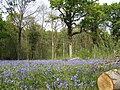 Bluebells and oaks - geograph.org.uk - 413325.jpg
