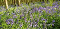 Bluebells in Charleville Forest. 04.jpg
