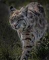 Bobcat - Minnesota - Crosby Manitou State Park - wildlife (38772722895).jpg