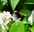 Bombus hypnorum - Flickr - gailhampshire.jpg